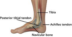 ankle-anatomy